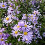Aster laevis 'Calliope' - Gladde aster