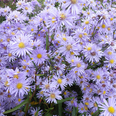 Aster - Aster - Aster
