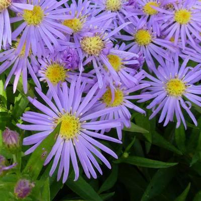 Aster novi-belgii 'Blütenmeer' -