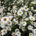 Aster novi-belgii 'White Ladies' - Herfstaster - Aster novi-belgii 'White Ladies'