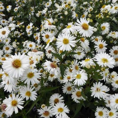 Herfstaster - Aster novi-belgii 'White Ladies'
