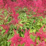 Astilbe x arendsii 'Spinell'  - Pluimspirea