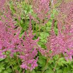 Astilbe chinensis 'Vision in Pink'  - Pluimspirea - Astilbe chinensis 'Vision in Pink'