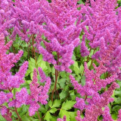 Pluimspirea - Astilbe chinensis 'Vision in Red'