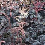 Astilbe 'Chocolate Shogun' - Astilbe 'Chocolate Shogun' - Pluimspirea