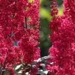Astilbe japonica 'Montgomery'  - Pluimspirea - Astilbe japonica 'Montgomery'