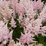 Astilbe japonica  'Peach Blossom' - Pluimspirea