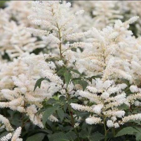 Astilbe japonica 'Washington'
