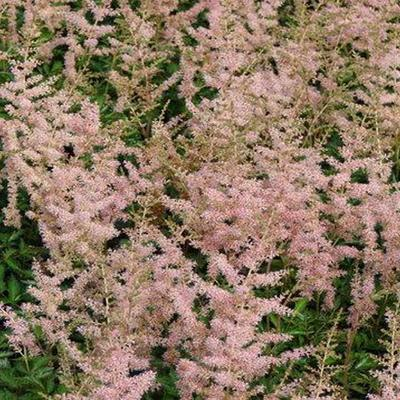Astilbe simplicifolia 'Hennie graafland' - Pluimspirea - Astilbe simplicifolia 'Hennie graafland'