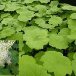 Astilboides tabularis - Astilboides tabularis - Tafelblad