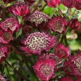 Astrantia major 'Moulin Rouge'