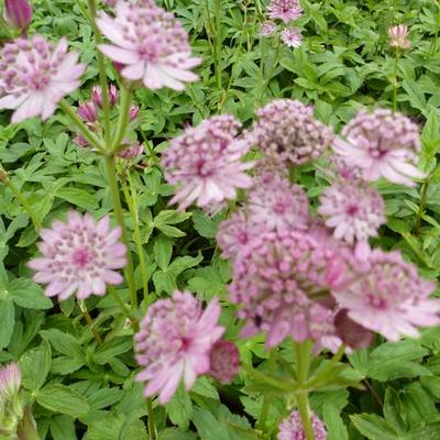 Astrantia major - Zeeuws knoopje