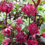 Astrantia major 'Ruby Wedding' - Zeeuws knoopje