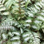 Athyrium niponicum var. Pictum - Athyrium niponicum var. Pictum - Japanse regenboogvaren