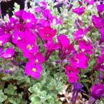 Aubrieta 'Cascade Red' - Randjesbloem - Aubrieta 'Cascade Red'