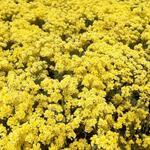 Aurinia saxatilis 'Sulphurea' - Aurinia saxatilis 'Sulphurea' - Schildzaad, Rotsschildzaad