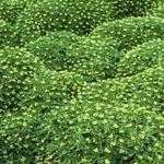 Azorella trifurcata - Azorella trifurcata - Andeskruid