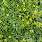 Azorella trifurcata 'Nana' - Azorella trifurcata 'Nana' - Andeskruid