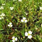 Baldellia ranunculoides - Stijve moerasweegbree - Baldellia ranunculoides