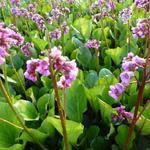 Bergenia cordifolia - Schoenlappersplant - Bergenia cordifolia