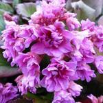 Bergenia cordifolia Abendglut' - Schoenlappersplant - Bergenia cordifolia Abendglut'