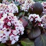 Bergenia 'Bach' - Bergenia 'Bach' - Schoenlappersplant