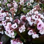 Bergenia DRAGONFLY  'Angel Kiss' - Schoenlappersplant