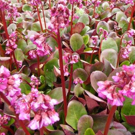 Bergenia 'Ouverture'