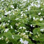 Kaukasische vergeet-mij-nietje - Brunnera macrophylla 'Betty Bowring'