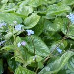 Kaukasisch vergeet-mij-nietje - Brunnera macrophylla 'Emerald Mist'