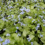 Kaukasische vergeet-mij-nietje - Brunnera macrophylla 'Jack Frost'