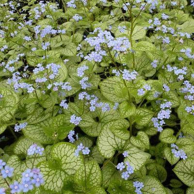 Brunnera macrophylla 'Jack Frost' - Kaukasische vergeet-mij-nietje - Brunnera macrophylla 'Jack Frost'