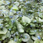 Brunnera macrophylla 'Looking Glass' - Kaukasische vergeet-mij-nietje - Brunnera macrophylla 'Looking Glass'