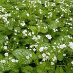 Brunnera macrophylla 'Mr. Morse' - Kaukasische vergeet-mij-nietje - Brunnera macrophylla 'Mr. Morse'