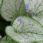 Brunnera macrophylla 'Silver Spear' - Kaukasische vergeet-mij-nietje - Brunnera macrophylla 'Silver Spear'