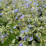 Kaukasische vergeet-mij-nietje - Brunnera macrophylla  'Variegata'
