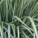 Struisriet - Calamagrostis x acutiflora 'Avalanche'