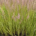 Struisriet - Calamagrostis x acutiflora 'England'