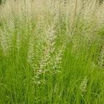 Calamagrostis x acutiflora  'Waldenbuch' - Struisriet - Calamagrostis x acutiflora  'Waldenbuch'