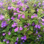 Calamintha grandiflora - Calamintha grandiflora - Bergsteentijm