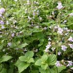 Calamintha nepeta 'Blue Cloud' - Steentijm