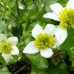 Caltha palustris var. alba - Witte dotterbloem - Caltha palustris var. alba