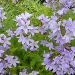 Campanula lactiflora - Klokjesbloem - Campanula lactiflora
