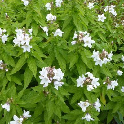 Campanula lactiflora 'White Pouffe' - Klokjesbloem, Celtisbladklokje - Campanula lactiflora 'White Pouffe'