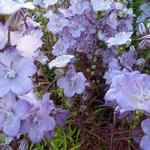 Campanula persicifolia 'Hidcote Amethyst' - Campanula persicifolia 'Hidcote Amethyst' - Perzikbladklokje