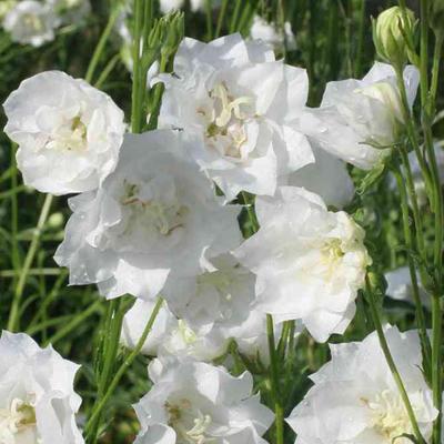 Campanula persicifolia 'La Bonne Amie' -