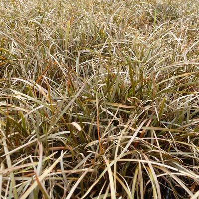 Carex berggrenii -