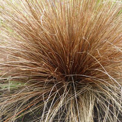 Carex buchananii -
