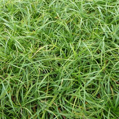 Carex caryophyllea 'The Beatles' -
