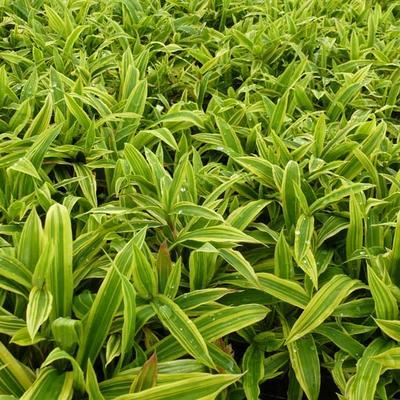 Carex ciliatomarginata 'Shima-nishiki' -